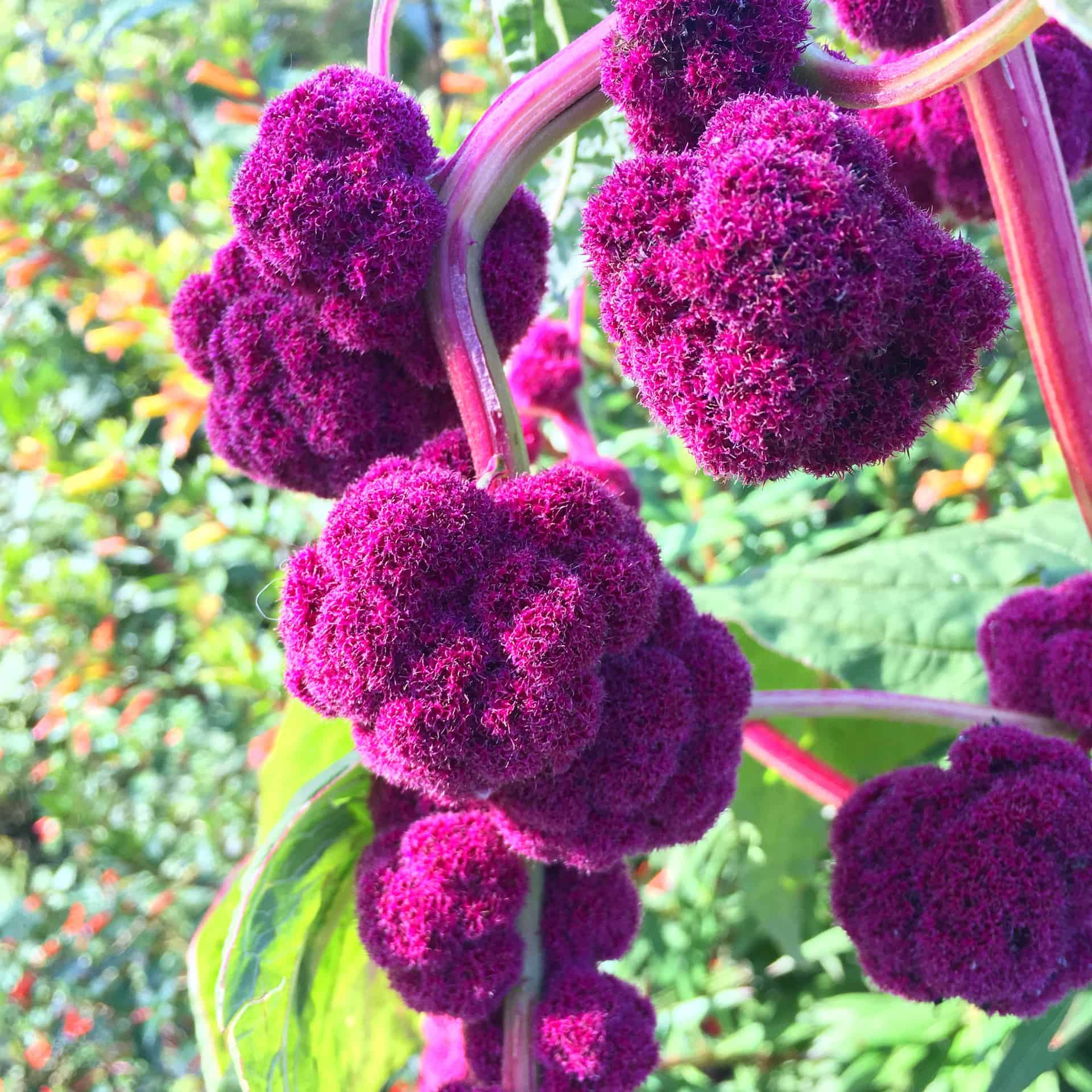 Amaranthus | Featured Flower