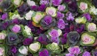 Ornamental Kale varieties