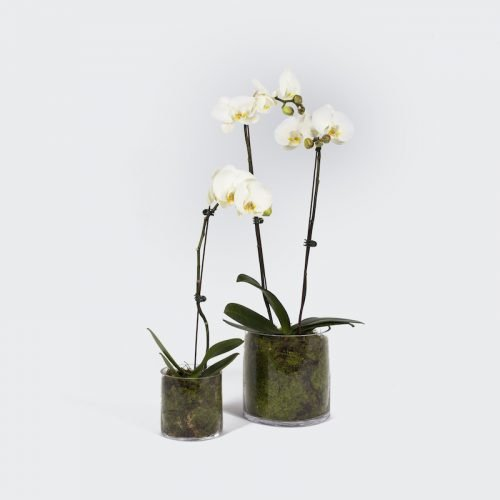 Potted Phalaenopsis. The Petal Provedore. Melbourne.